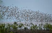 Ribuan Burung Siberia Migran ke Banyuasin