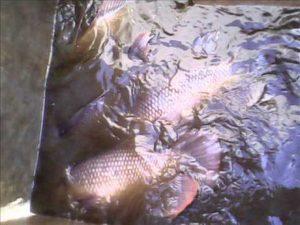 budidaya-ikan-gurame-di-kolam-semen-600x450