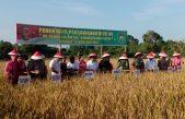 Pangdam dan Bupati Banyuasin Panen Raya Padi Sawah Lebak di Gelebak Dalam, Banyuasin Optimis Capai 1,67 juta Ton